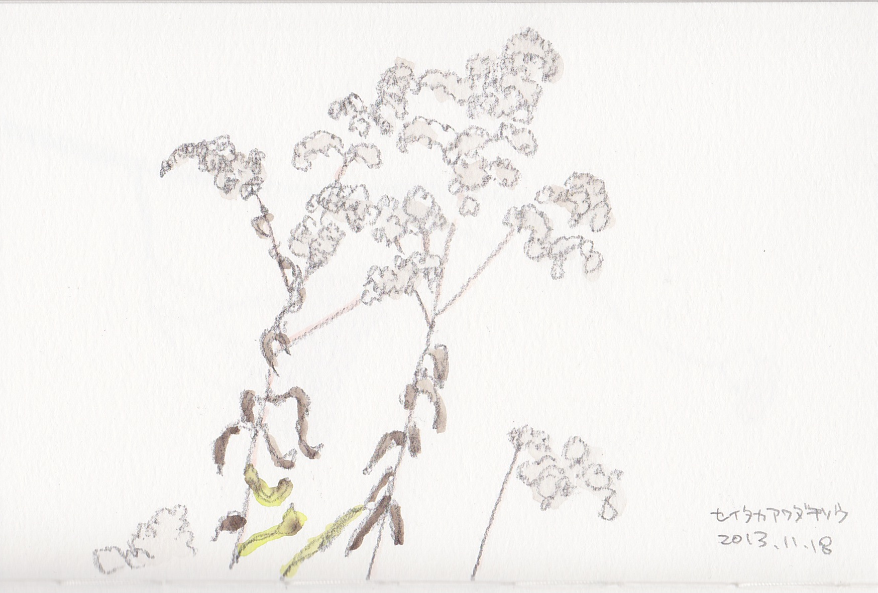 セイタカアワダチソウの画像 p1_35