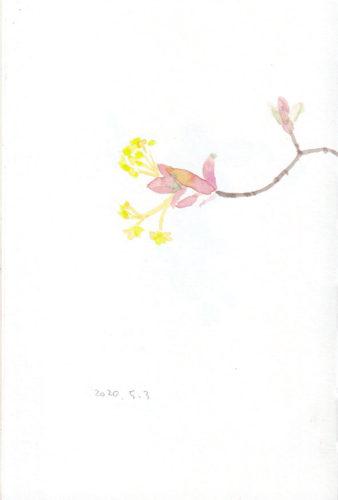 イタヤカエデの花 Acer mono
