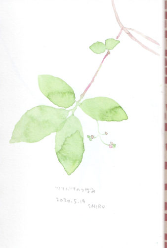 ツリバナのつぼみ Euonymus oxyphyllus