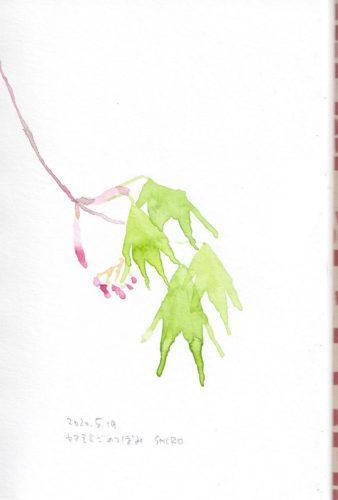 ヤマモミジのつぼみ Acer palmatum