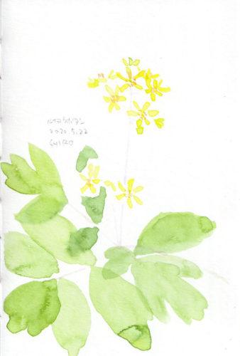 ルイヨウボタン Caulophyllum