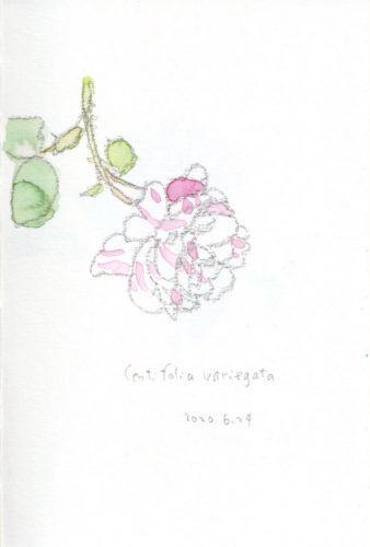 Centifolia variegata