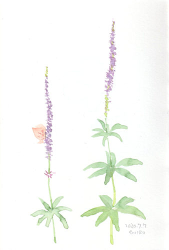Veronicastrum