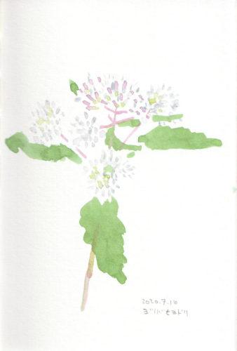 Eupatorium glehnii