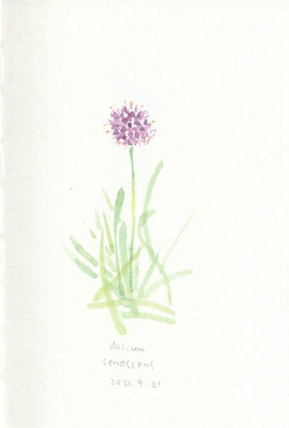 Allium senscens